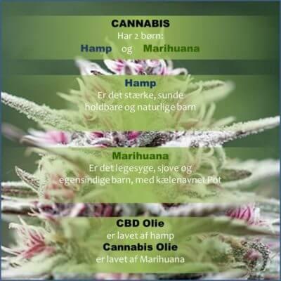 Hamp/Marihuana børn af cannabis