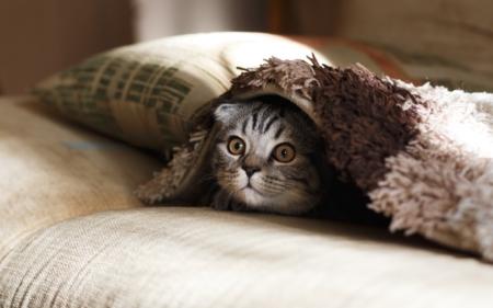 The-Real-CBD-Blog-CBD-Olie-til-dyr-med-angst-kat-under-tæppe