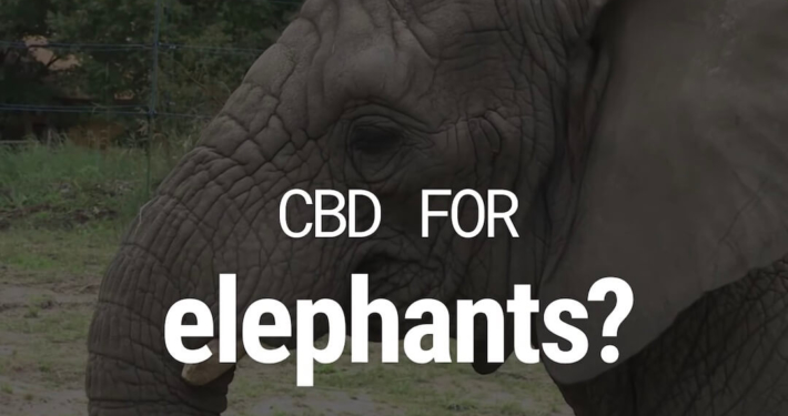 Three African elephants at the zoo in the Polish city of Warsaw are given cannabis oil