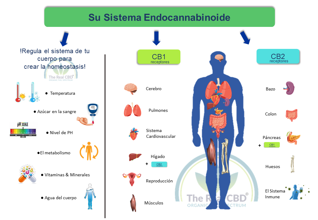 the-real-cbd-sistema-ecs